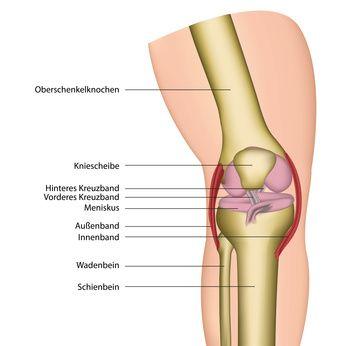 Anatomie des knie