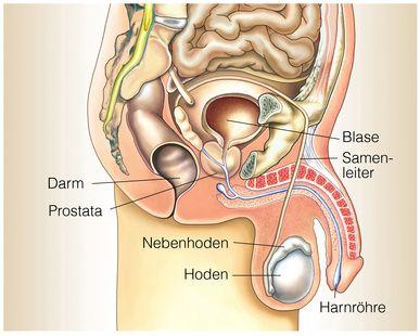 Der Penis und die männliche Anatomie