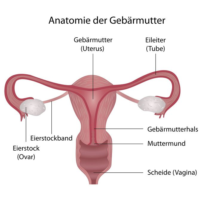 Die Gebärmutter - Anatomie, Funktionen und häufige Erkrankungen