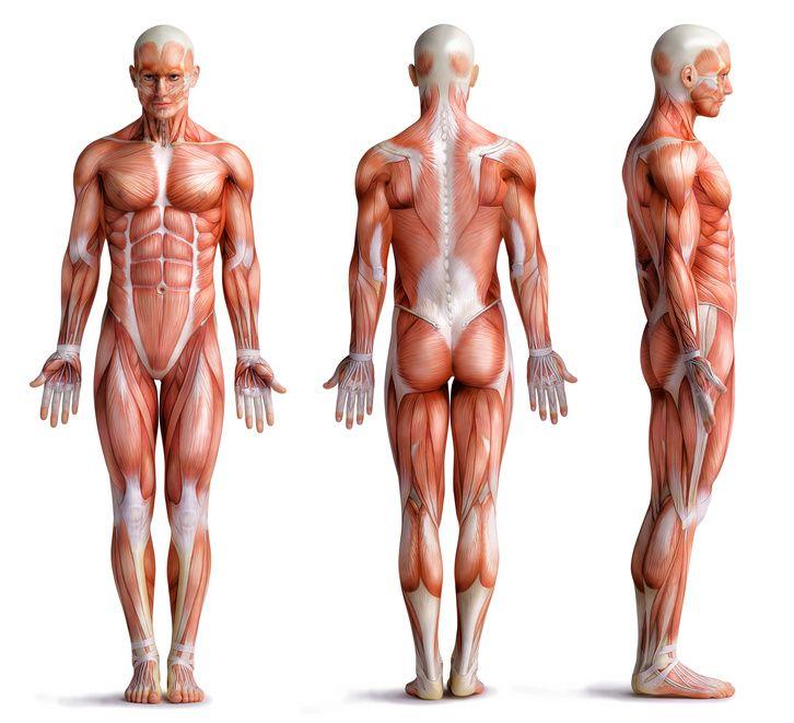 Die Muskeln | Aufbau, Funktionen, Erkrankungen
