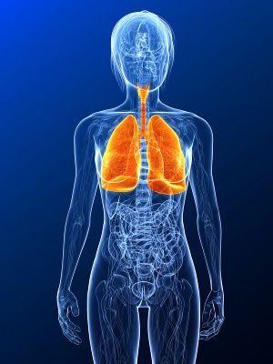 Die Lunge bringt Sauerstoff in den Organismus