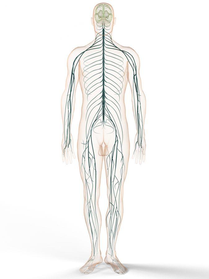 Erfreut Das Periphere Nervensystem Umfasst Ideen - Anatomie und ...