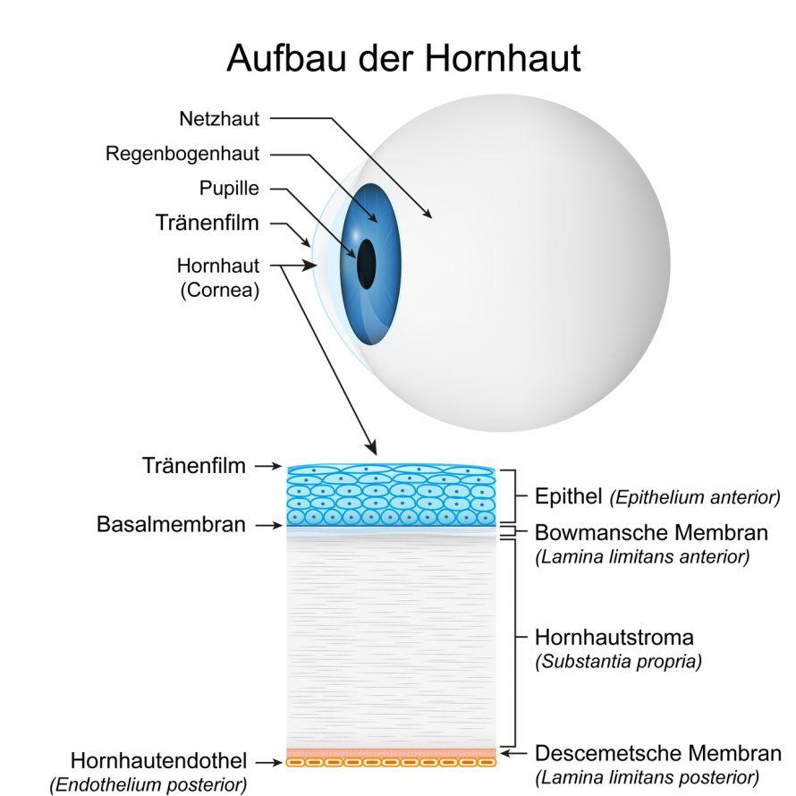 Aufbau der Hornhaut des Auges