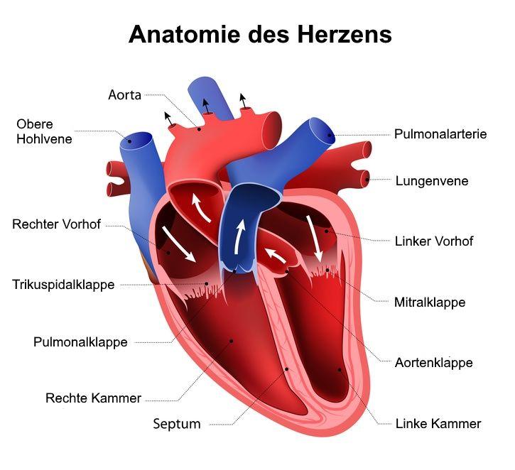 Aorta | Hauptschlagader des Körpers