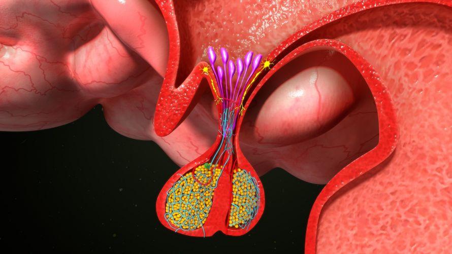 Hypophyse (Hirnanhangdrüse) | Anatomie, Funktionen, Erkrankungen