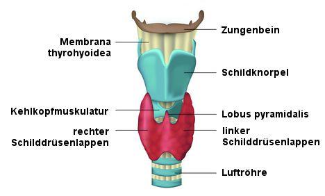 Aufbau der Schilddrüse