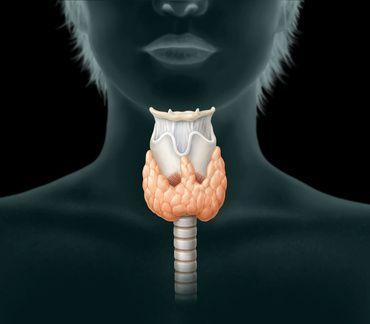Anatomie Schilddrüse und Nebenschilddrüse
