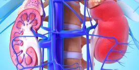 Die Nieren - Anatomie, Funktionen und häufige Erkrankungen